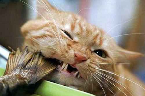 Домашние питомцы. Почему рыба вредна для кошек?